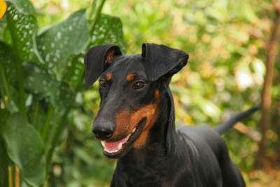 Manchster Terrier