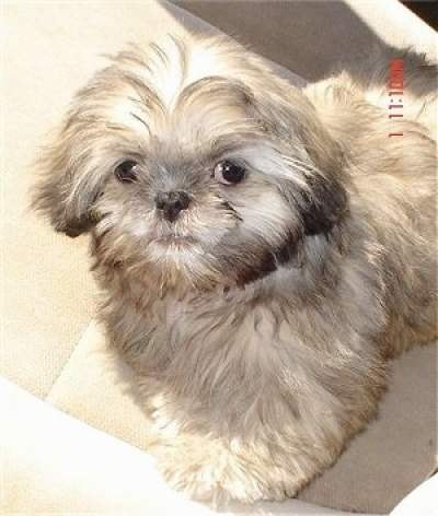 Shih tzu Japanese Chin mix