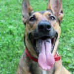 black spot on dog's tongue german shepherd