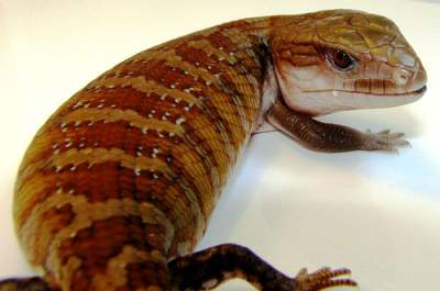 northern blue tongue skink