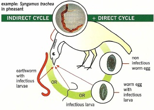 indirect worm contact in chickens