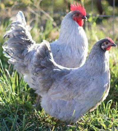 Lavender Orpington chickens
