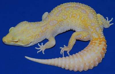 Albino Patternless Tremper Orange
