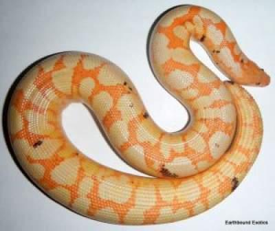 Albino Sand Boa