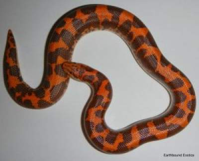 Nuclear Sand Boa pictures