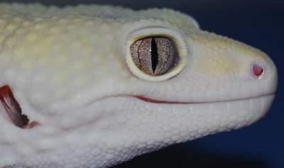 Snake Eye morphs