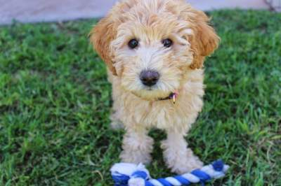Top-Rated Dog Shampoos For Labradoodles