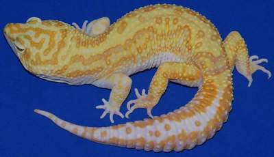 Tremper Albino morphs