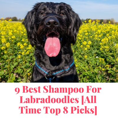 best shampoo for Labradoodles