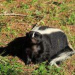 do mothballs repel skunks