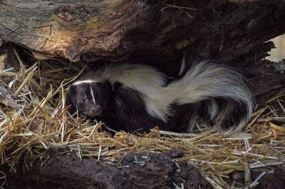 homemade skunk repellent