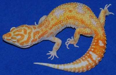 jungle leopard gecko