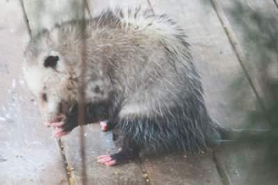 opossum washing hands