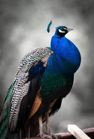 peacock wheezing