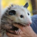 possums live in the US
