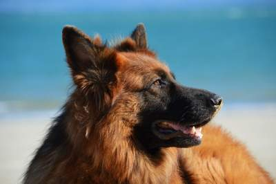 best chew treats for German shepherds