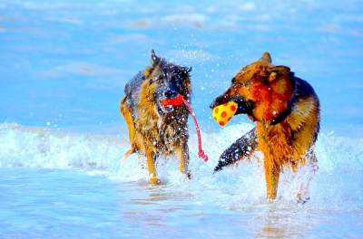 best toys for German Shepherd