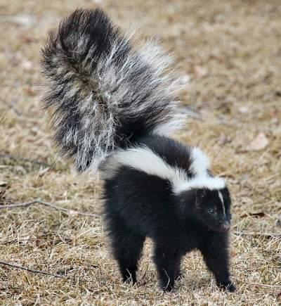 dog sprayed by skunk in eyes