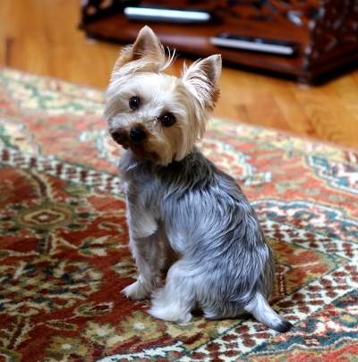 full grown yorkie pictures