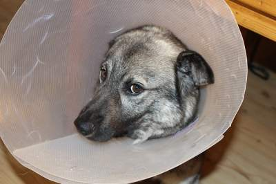 alternatives to surgery for laryngeal paralysis in dogs