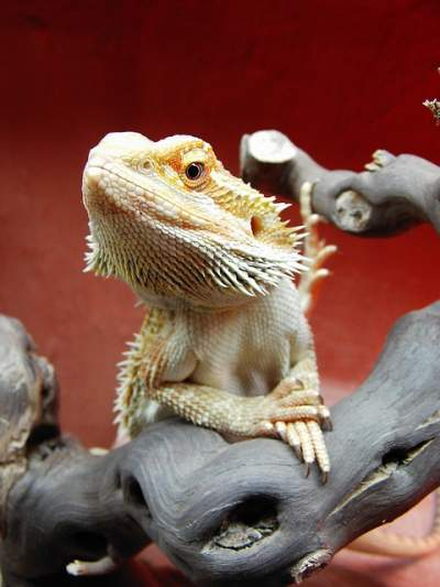 best bearded dragon enclosure