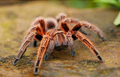 best substrate for Mexican red knee tarantula