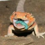 best worms for bearded dragons