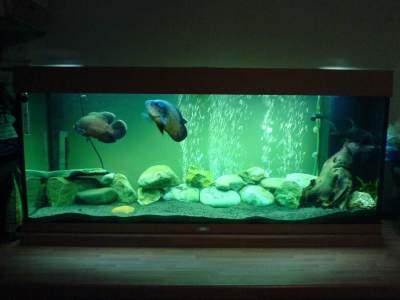 Oscar aquarium