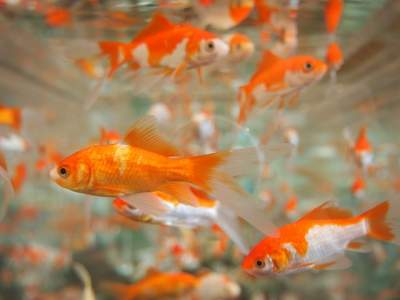 comet goldfish care