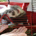 Prevue hendryx ferret cage