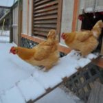 Best Chicken Coops for Winter