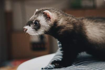 Best Ferret Hammocks