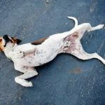 Glomerulonephritis in dogs