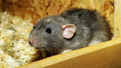 Rats in the attic health concerns