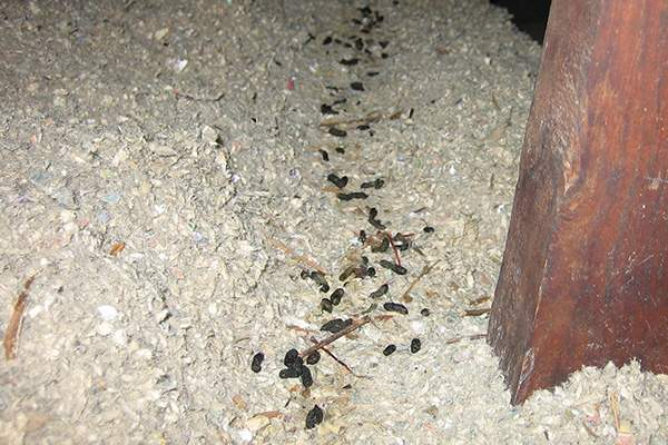 mouse poop images