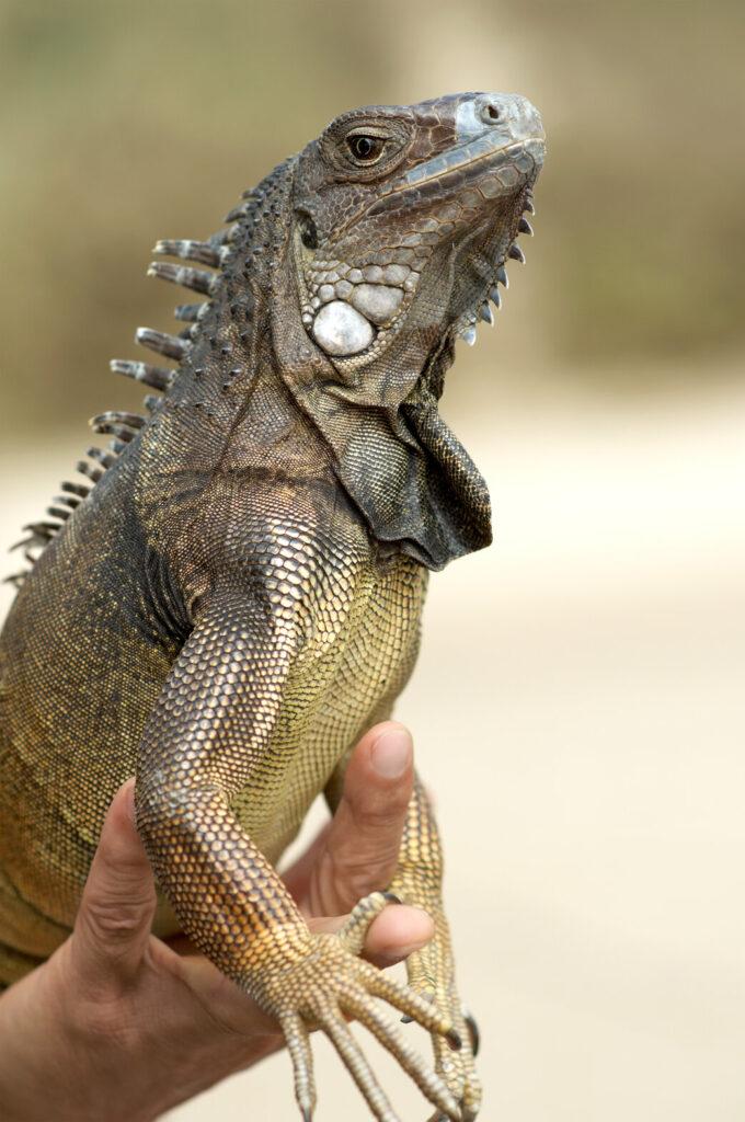 What do iguanas eat?