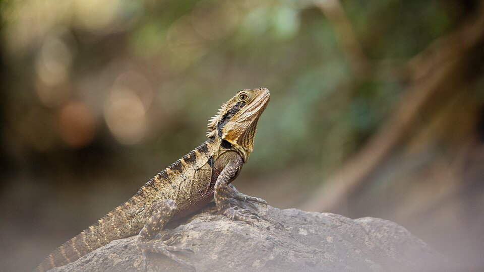 Why are bearded dragons loved as pets?
