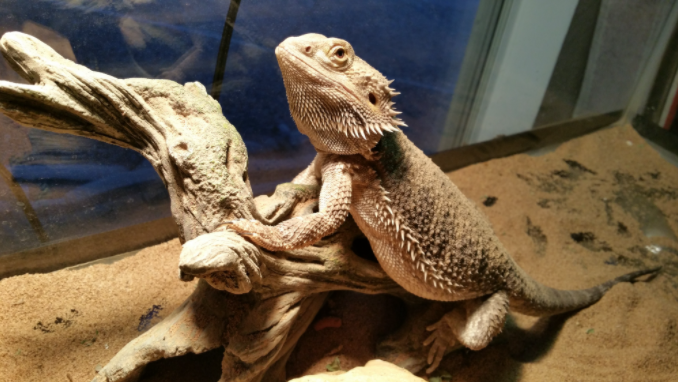 How Old Is My Bearded Dragon?