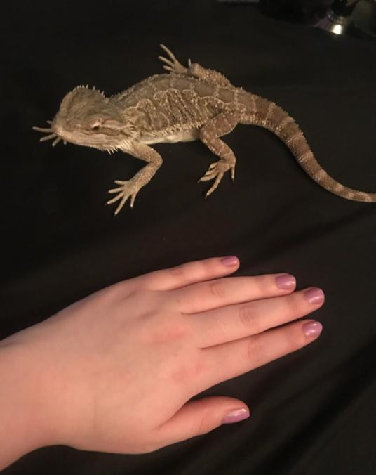 Bearded Dragon Bite